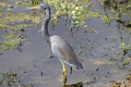 Tricolored heron in the swamp Royalty Free Stock Photos