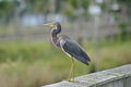 Tricolored Heron Watches Stock Photo