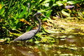 Tricolored Heron in Wetland Royalty Free Stock Photo