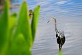 Tricolored louisiana heron a also called walking in the water of a south florida wetland in delray beach Stock Images
