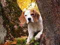 Tricolour beagle hiding behind the tree in autumn forest Royalty Free Stock Image