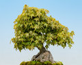 Trident maple bonsai acer buergerianum tree Royalty Free Stock Photo