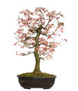 Trident maple bonsai tree acer buergerianum isolated on white Stock Image