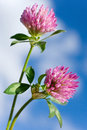 Trifolium pratense -  red clover pink flower Royalty Free Stock Photo