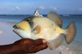 Trigger fish colorful with mustache kiritimati island Royalty Free Stock Photos