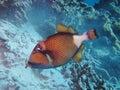 Trigger fish fish,at rachayai phuket thailand Royalty Free Stock Photos