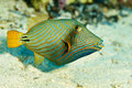 Trigger fish in the Red sea Royalty Free Stock Photo