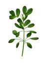 Trigonella foenum-graecum illustration.