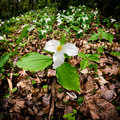 Trillium bed square crop white trilliums growing on the forest floor grandiflorum is the official emblem of the province of Royalty Free Stock Images