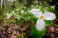 Trillium bed white trilliums growing on the forest floor grandiflorum is the official emblem of the province of ontario and the Stock Images