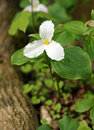 Trillium grows at the base of the tree which is provincial flower ontario canada in forest Stock Photography