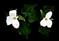 Trillium pair on black a of white trilliums a background low key with high contrast processing grandiflorum is the official emblem Stock Images