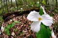 Trillium right side white trilliums growing on the forest floor grandiflorum is the official emblem of the province of ontario and Stock Photos