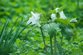 Trilliums in the rain. Royalty Free Stock Photography
