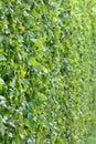 Trimed bush wall Royalty Free Stock Photo