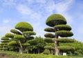 Trimmed banyan tree Royalty Free Stock Photo