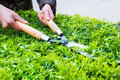Trimming bushes in spring garden scissors with someone Stock Photography