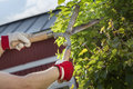 Trimming the hedge gloved hands a bush with worn scissors Stock Image