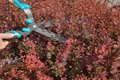 Trimming shrubbery by hedge clippers manual of red berberis or secateurs Royalty Free Stock Photo