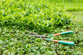 Trimming shrubs scissors old on green bushes Stock Photography