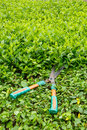 Trimming shrubs scissors old on green bushes Stock Image