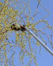 Trimming of trees using long pruning shears Stock Photos