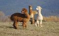 Trio of alpacas three regard an object interest in the distance as they stand in a green field with hills in the background Stock Photo