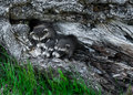 Trio of baby raccoons procyon lotor huddle in tree captive animals Stock Photography