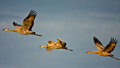 Trio of cranes in flight three sandhill soar through the sky Stock Photos