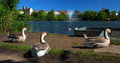 Trio Geese time to relax in Diss Mere park. Royalty Free Stock Photo