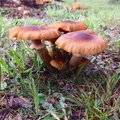 Trio orange toadstools Royalty Free Stock Photo