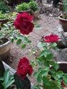 Trio of red Roses