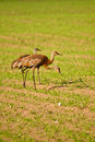 Trio of Sandhill Cranes Stock Images