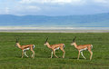 Trio three gazelles of the grandee synchronously go on a green grass in crater ngoro ngoro Royalty Free Stock Images