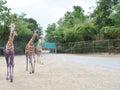 Triple giraffe Royalty Free Stock Photo