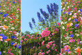 Triple summer flowers collage meadow delphinium and roses behind garden fence Royalty Free Stock Photos