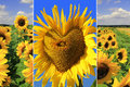 Triple sunflowers collage sunflower field and heart shaped sunflower Stock Photos