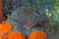 Triplefin blenny striped helcogramma striatum lying among sponges komodo indonesia Stock Images