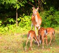 Triplets whitetail deer doe that is surrounded by three young fawns Royalty Free Stock Photography