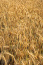 Triticale cultivation Royalty Free Stock Photo