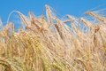 Triticale ears Royalty Free Stock Photo