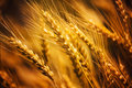 Triticale Royalty Free Stock Photo