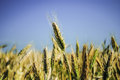 Triticale heads Royalty Free Stock Photo