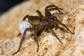 Trochosa ruricola wolf spider female with egg sac Royalty Free Stock Photo
