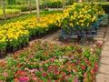 Trolley has Full Marigold Flower Royalty Free Stock Photo