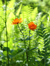 Trollius asiaticus Royalty Free Stock Image