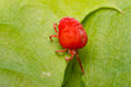 Trombidiidae velvet mite close up macro red or in natural environment Royalty Free Stock Photo
