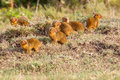 Troop Of Dwarf Mongooses