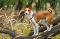 Troop leader on the tree branch looking into the distance basenji dog Stock Photo