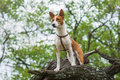 Troop leader on the tree branch looking into the distance cute basenji dog Stock Photography